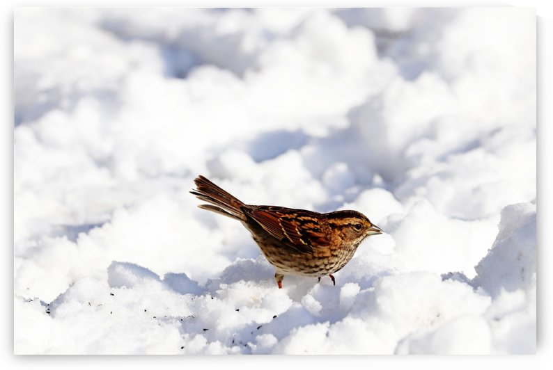 White Throated Sparrow In The Snow by Deb Oppermann
