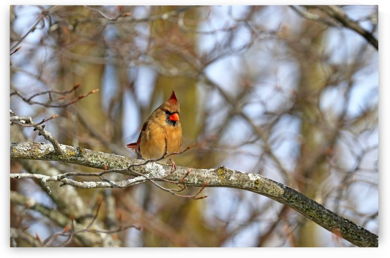 Morning Light Female Cardinal by Deb Oppermann