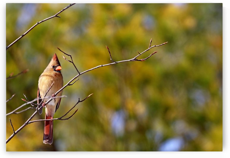 Cardinal In Morning Light by Deb Oppermann