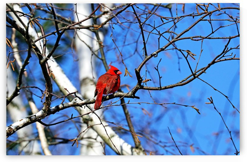 Cardinal In The Birch Tree by Deb Oppermann