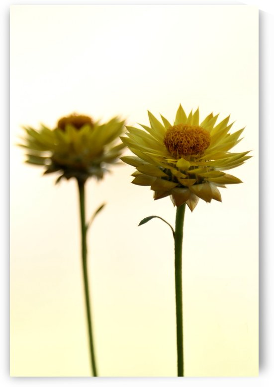 Mellow yellow by Violet Carroll