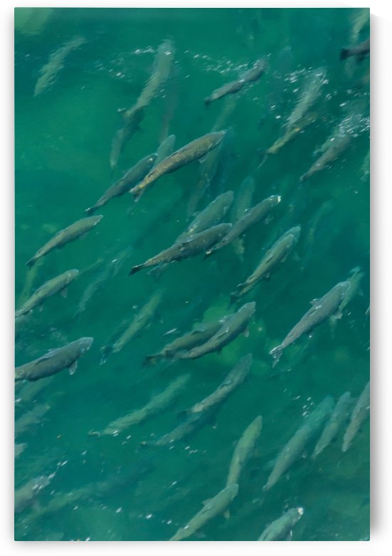Salmon rush hour by Violet Carroll