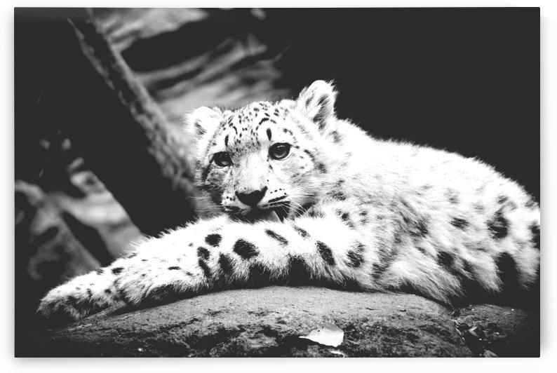Snow Leopard Baby by Kikkia Jackson
