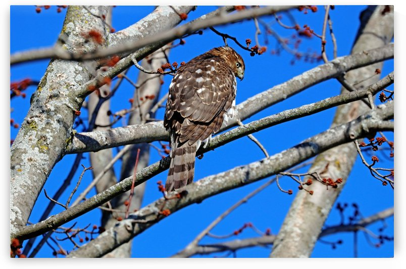 Coopers Hawk In Fall by Deb Oppermann