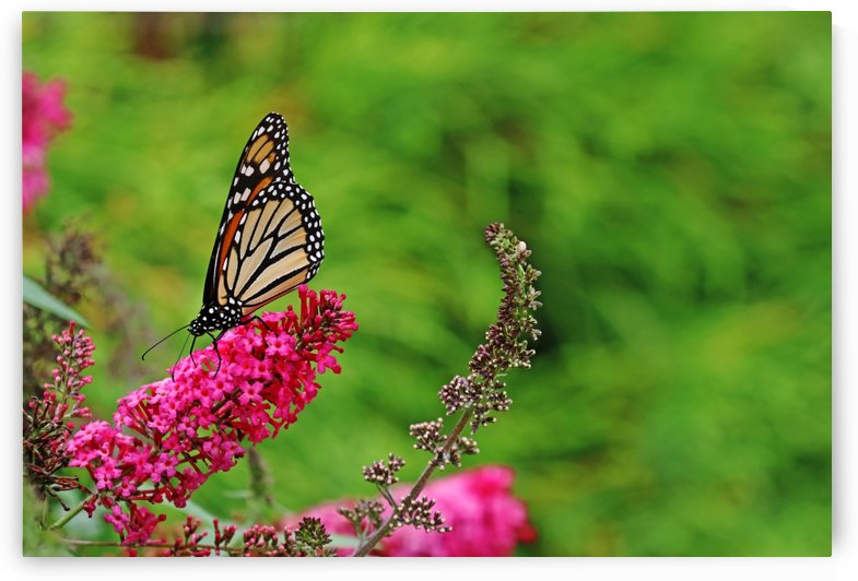 Monarch In The Garden by Deb Oppermann
