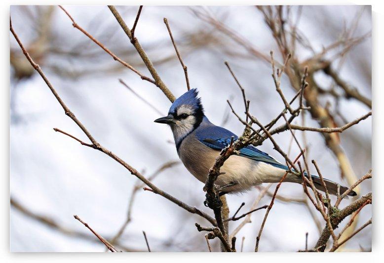 Blue Jay Sitting Pretty by Deb Oppermann