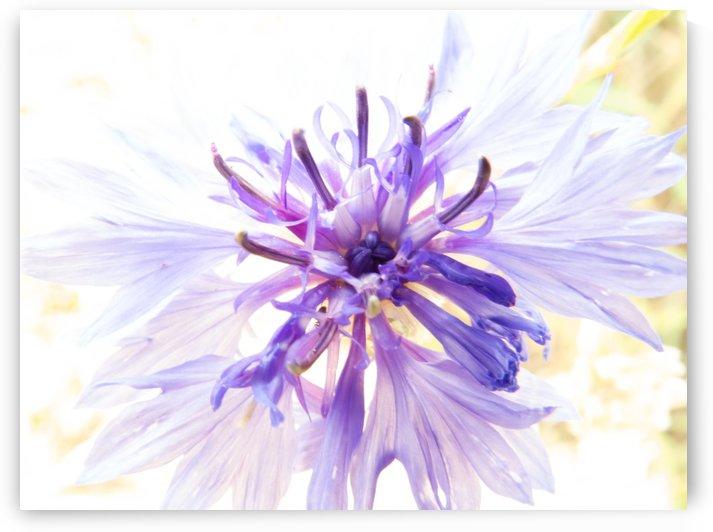 Purple Flower Burst by Christy Garavetto