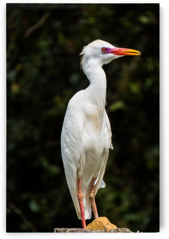 Egret Bird by Christy Garavetto