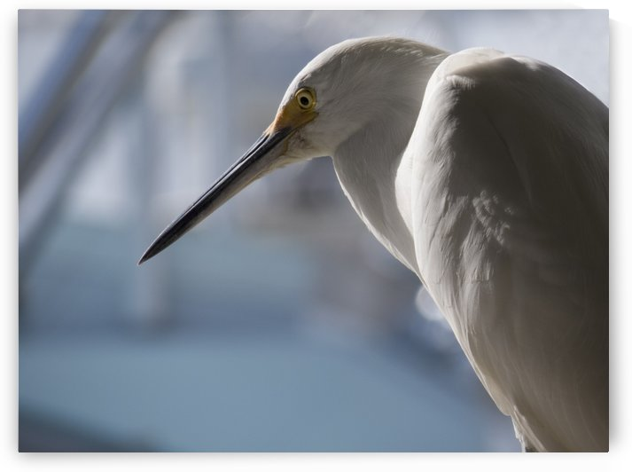 Egret Bird close up by Christy Garavetto