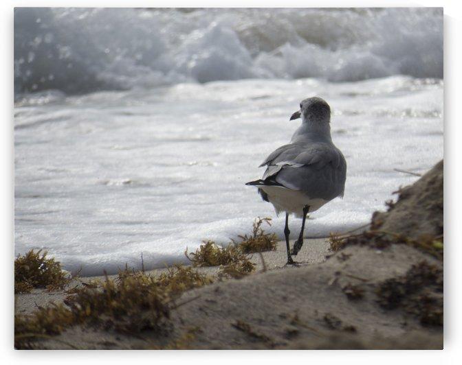 Seagull running by Christy Garavetto