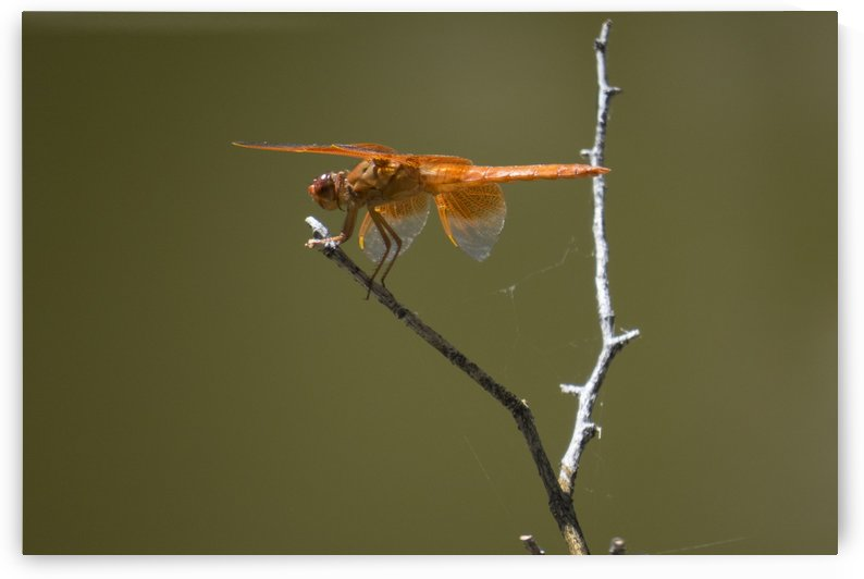 Orange Dragonfly by Christy Garavetto