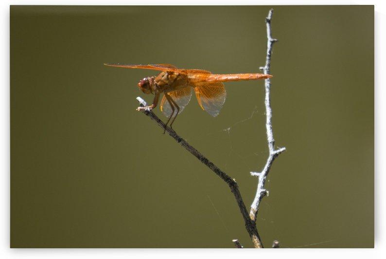 Orange Dragonfly by Christy Garavetto