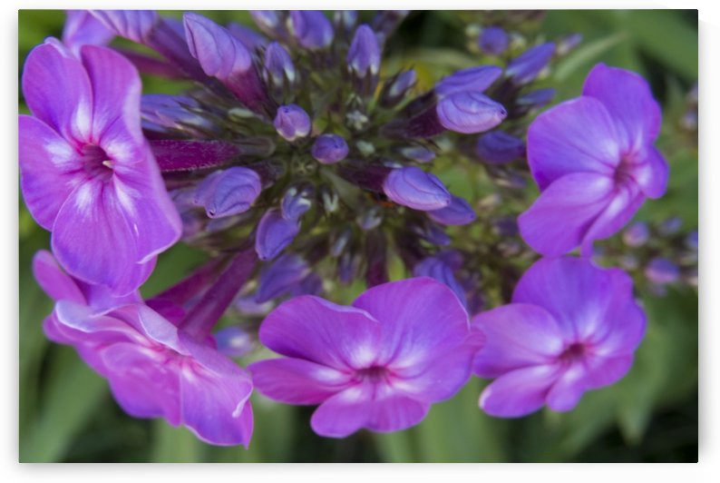 Purple Flower Blooming by Christy Garavetto