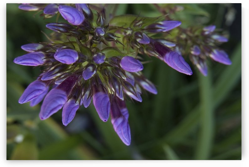 Purple Blooms by Christy Garavetto