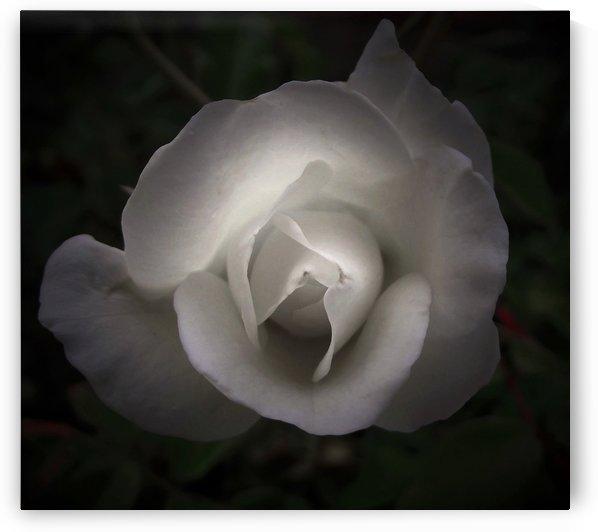 White Rose In Shadows by Linda Peglau