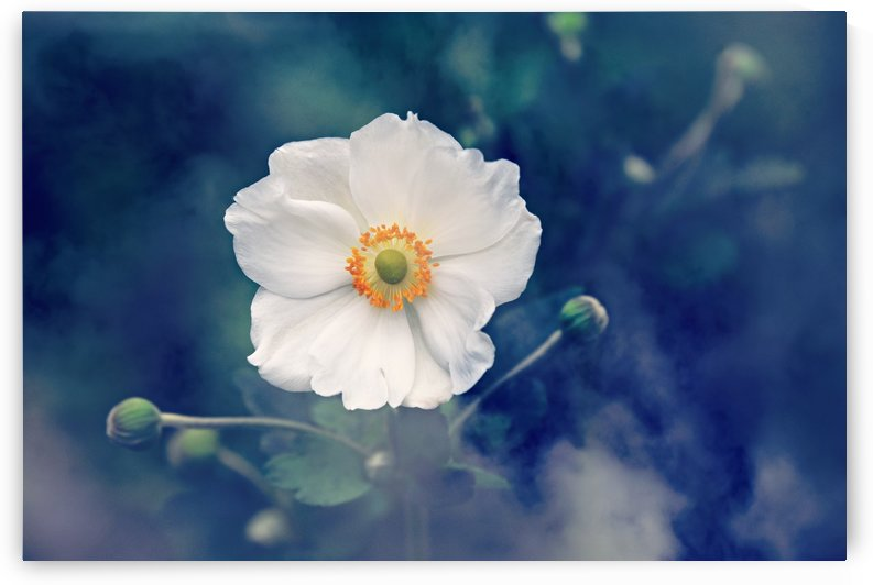 anemone, flower, plant, nature, summer, outdoors, by fabartdesigns