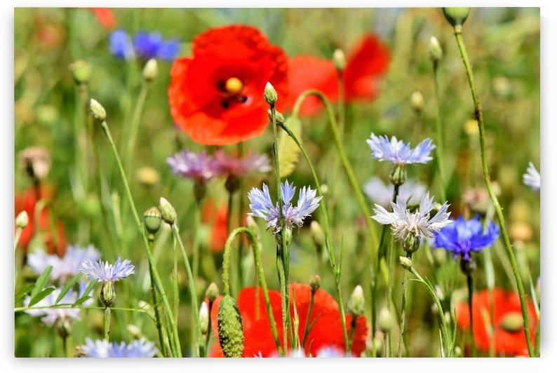 alpine cornflower, cornflowers, flowers, centaurea montana, field of flowers, poppy, composites, flora, wild plant, plant, flower garden, wild flower, garden, flower meadow, petal, meadow, nature, by fabartdesigns