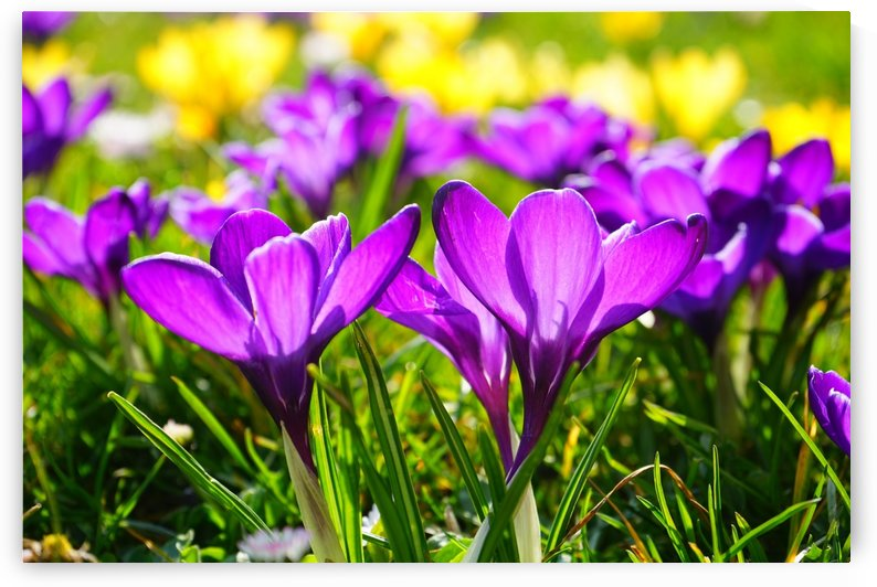 crocus, flower, spring, bühen, purple, blossom, bloom, spring flower, by fabartdesigns