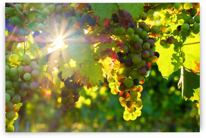 grapes, sun, sunbeam, fruit, vines, rebstock, wine, vine, fructose, sweet, by fabartdesigns