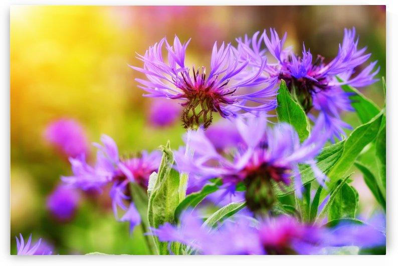 knapweed, aster, composites, cyanus montanus, centaurea montana, cyanus, flowering, asteraceae, cornflower, aster like, flower, blossom, bloom, by fabartdesigns