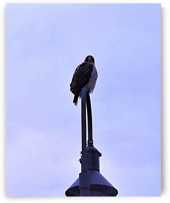 12.5.18 Hawk by TaylorGWPhotos