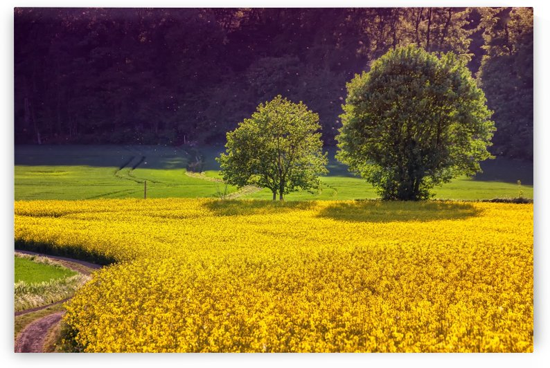 landscape, field of rapeseeds, oilseed rape, nature, plant, trees, yellow, green, shining, spring, field, by fabartdesigns