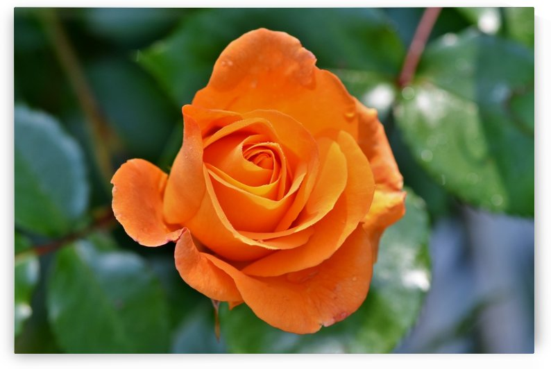 rose, rose bloom, pale yellow rose, blossom, bloom, orange, garden, orange rose, garden rose, flower, by fabartdesigns