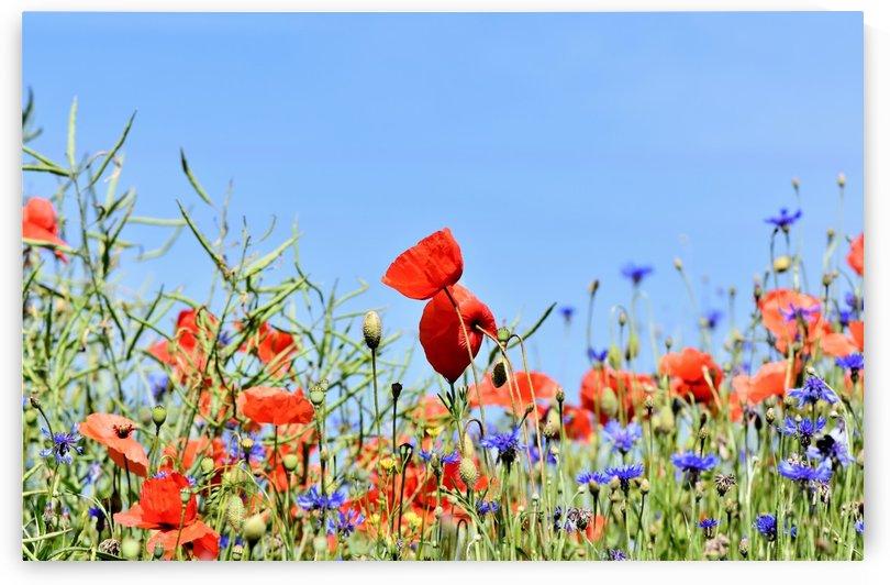 poppy, alpine cornflower, centaurea montana, flower, flower meadow, blossom, bloom, flora, plant, wild flower, garden, meadow, nature, field, petals, leaves, stems, by fabartdesigns