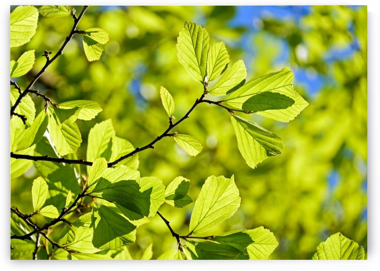 oak, tree, deciduous tree, leaves, parrotia persica, bright, green, light green leaves, structure, spring, nature, summer, branches, aesthetic, by fabartdesigns