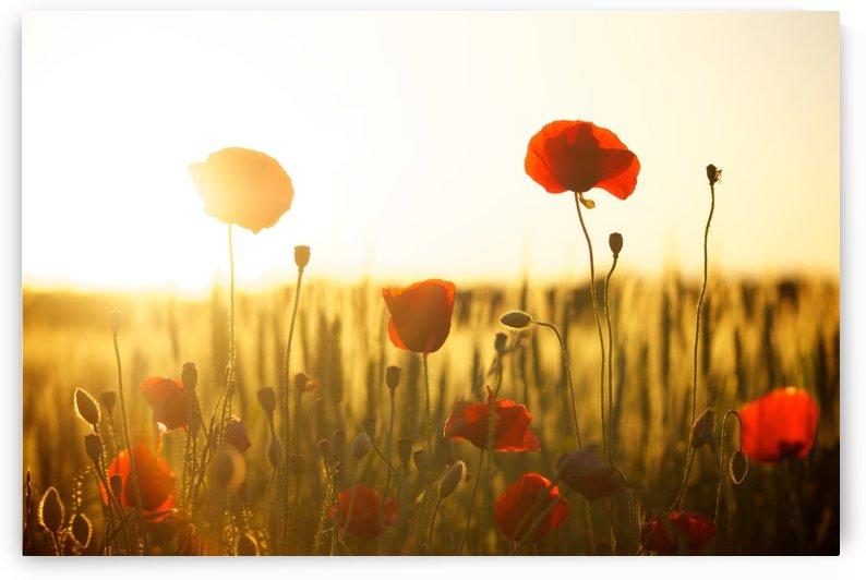 sunset, poppy, backlight, flowers, field, summer, by fabartdesigns