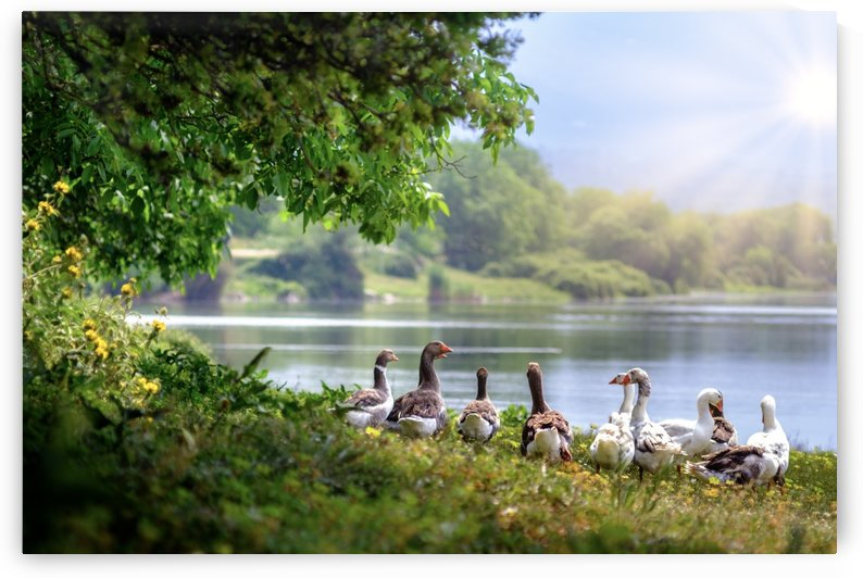 wild geese, waterfowl, flock, waddling, lake, geese, countryside, birds, water, trees, aquatic, nature, by fabartdesigns
