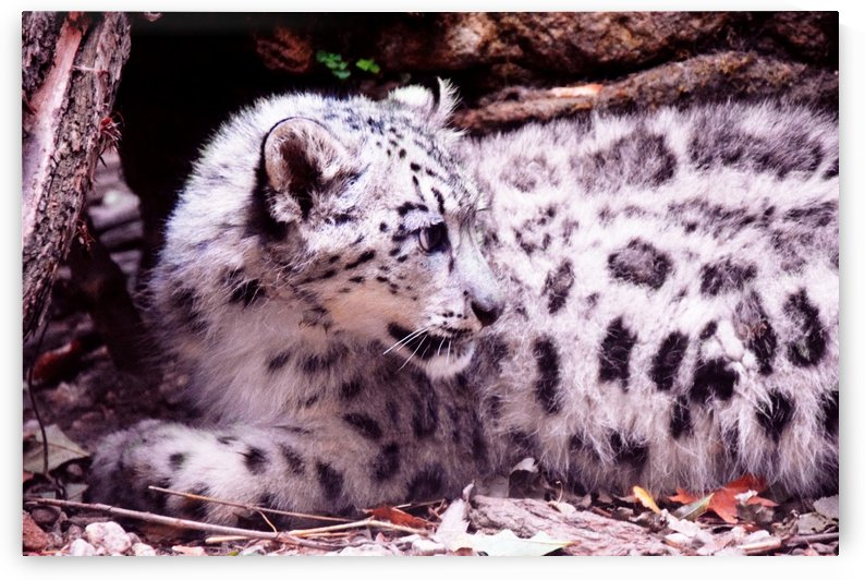 Cute Snow Leopard Baby by Kikkia Jackson