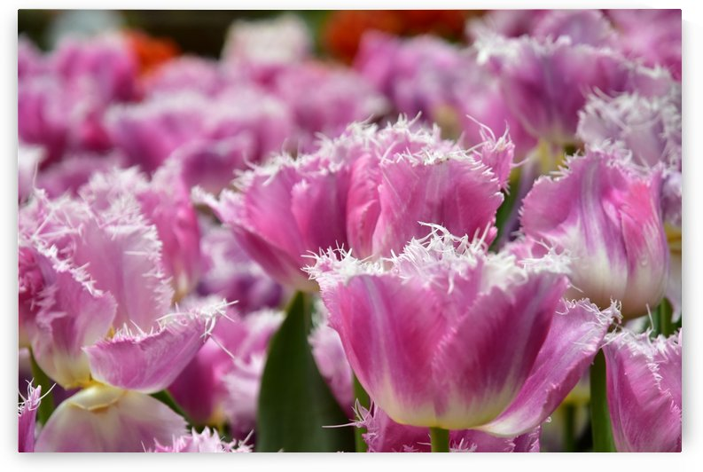 Plants - Flowers - 019 by Rich Lasam