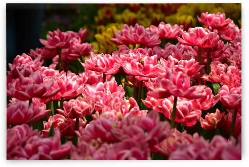 Plants - Flowers - 024 by Rich Lasam