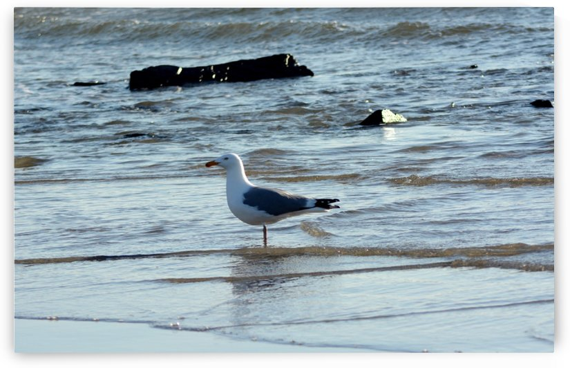 seagull 2 by Shore Shots by Jerry Hussar