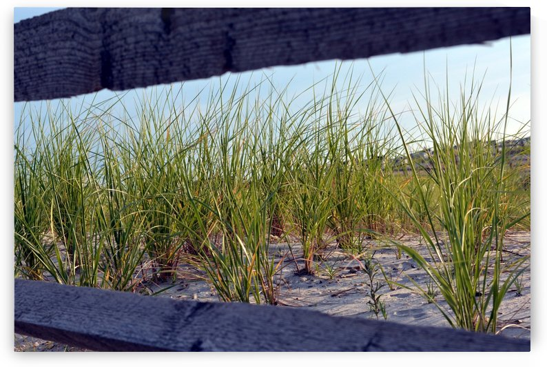 Dune grass framed by Shore Shots by Jerry Hussar
