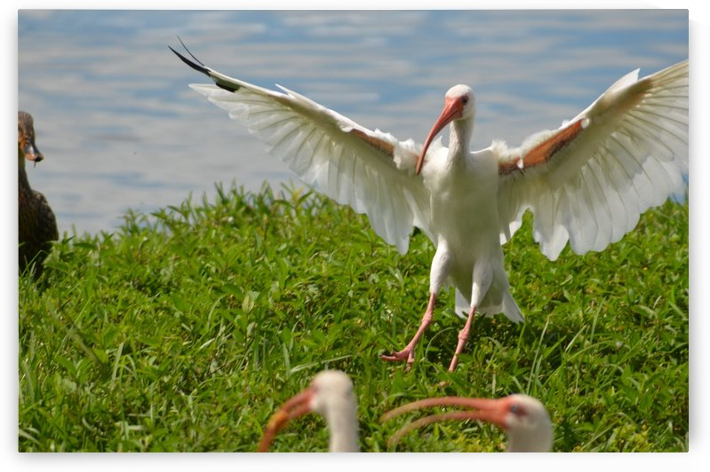 American White Ibis by Frederick Missel