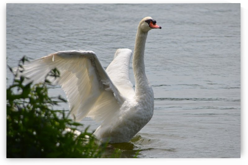 Swan by Frederick Missel
