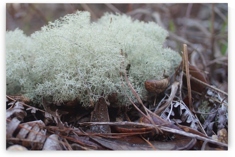 White Moss by Frederick Missel