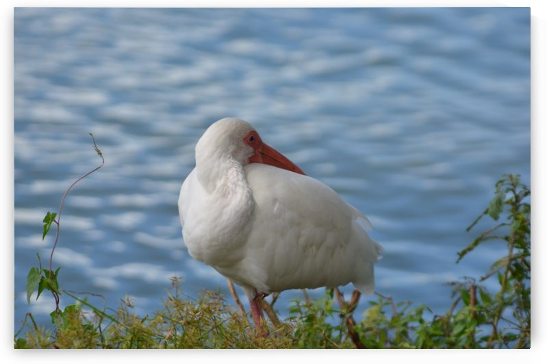 White Ibis Sleeping by Frederick Missel