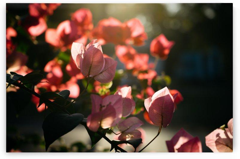 Bougainvillea flower by Krit of Studio OMG