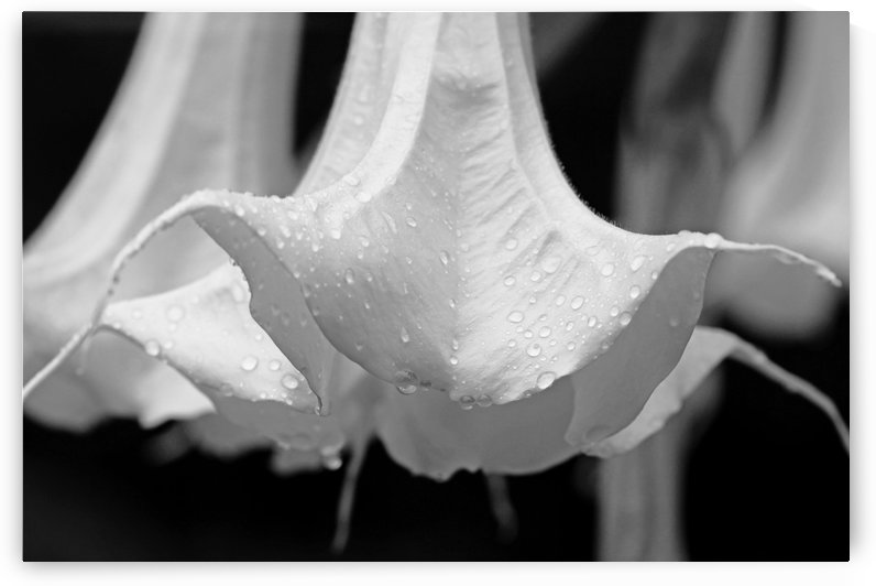 Brugmansia Black And White by Deb Oppermann