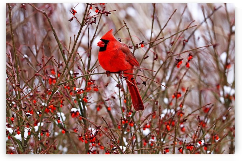 Winter Red by Deb Oppermann