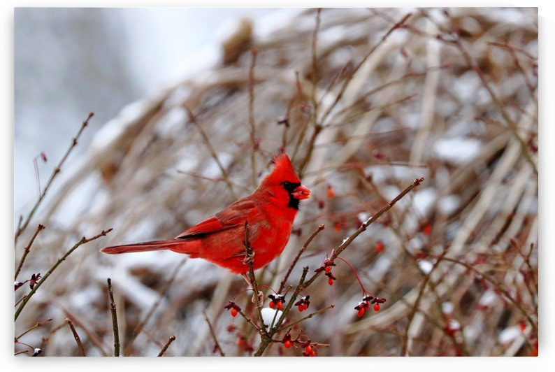 Winter Red Cardinal by Deb Oppermann