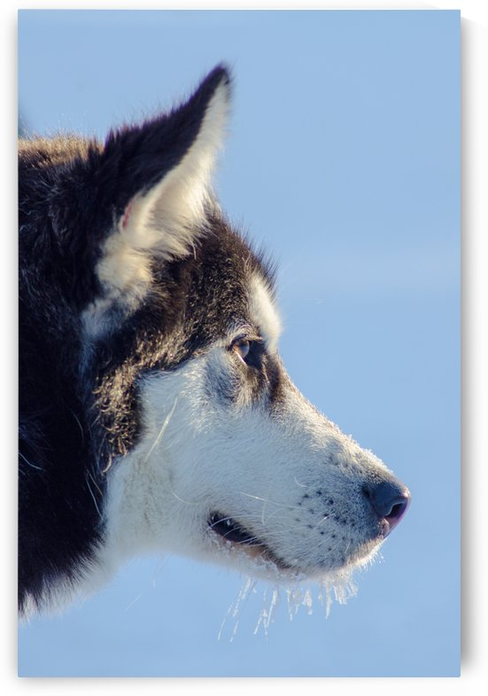 Husky by Guillaume ANGST