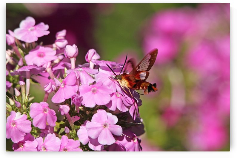 Pink Phlox And Clearwing Moth by Deb Oppermann
