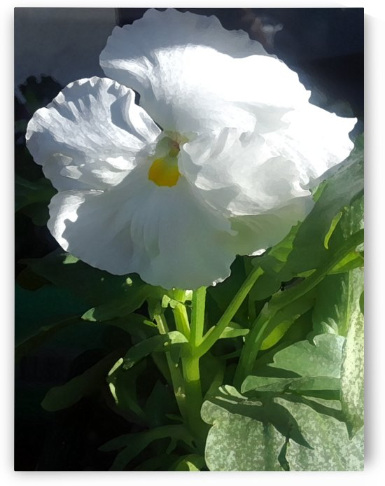 White Pansy II by CanvasBloom