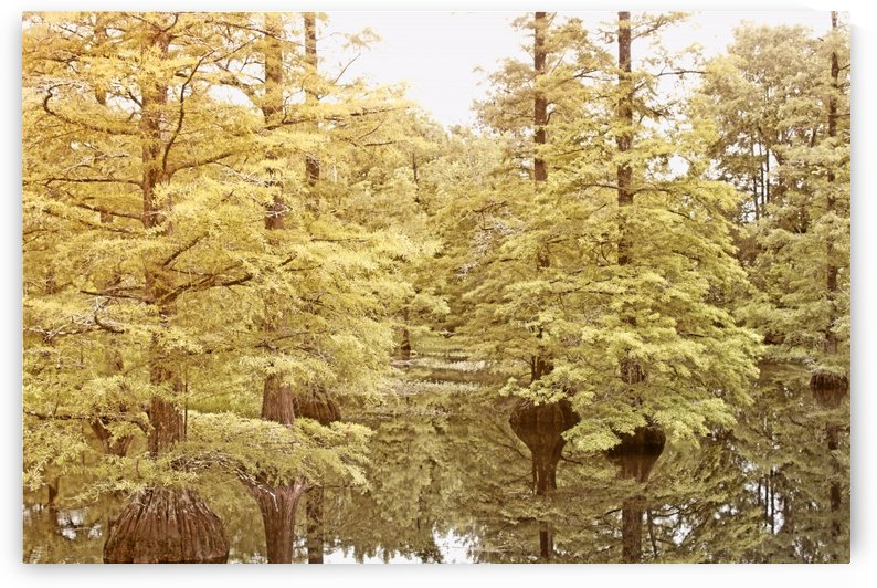 Golden Swamp by Marylin
