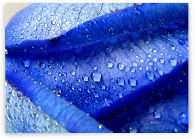 Blue Rose by Olga Osi