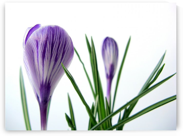 Crocus Melody by Olga Osi